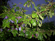 PWG Twitter Header Plum Tree